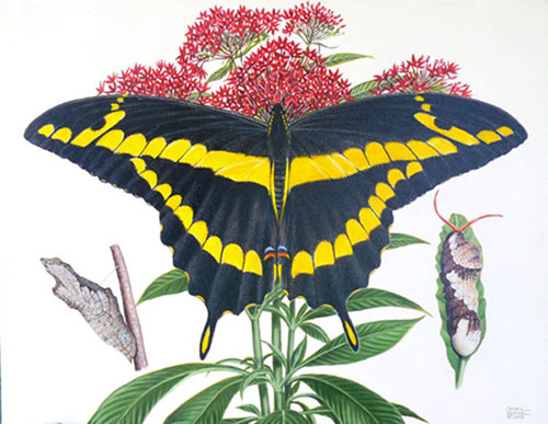 giant swallow-tailed